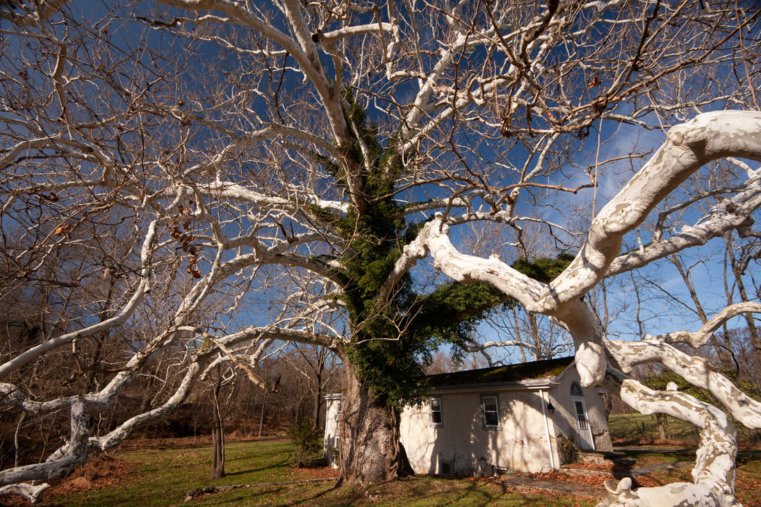 Witness Tree by froggynaan
