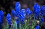 Velvia - Grape Hyacinth