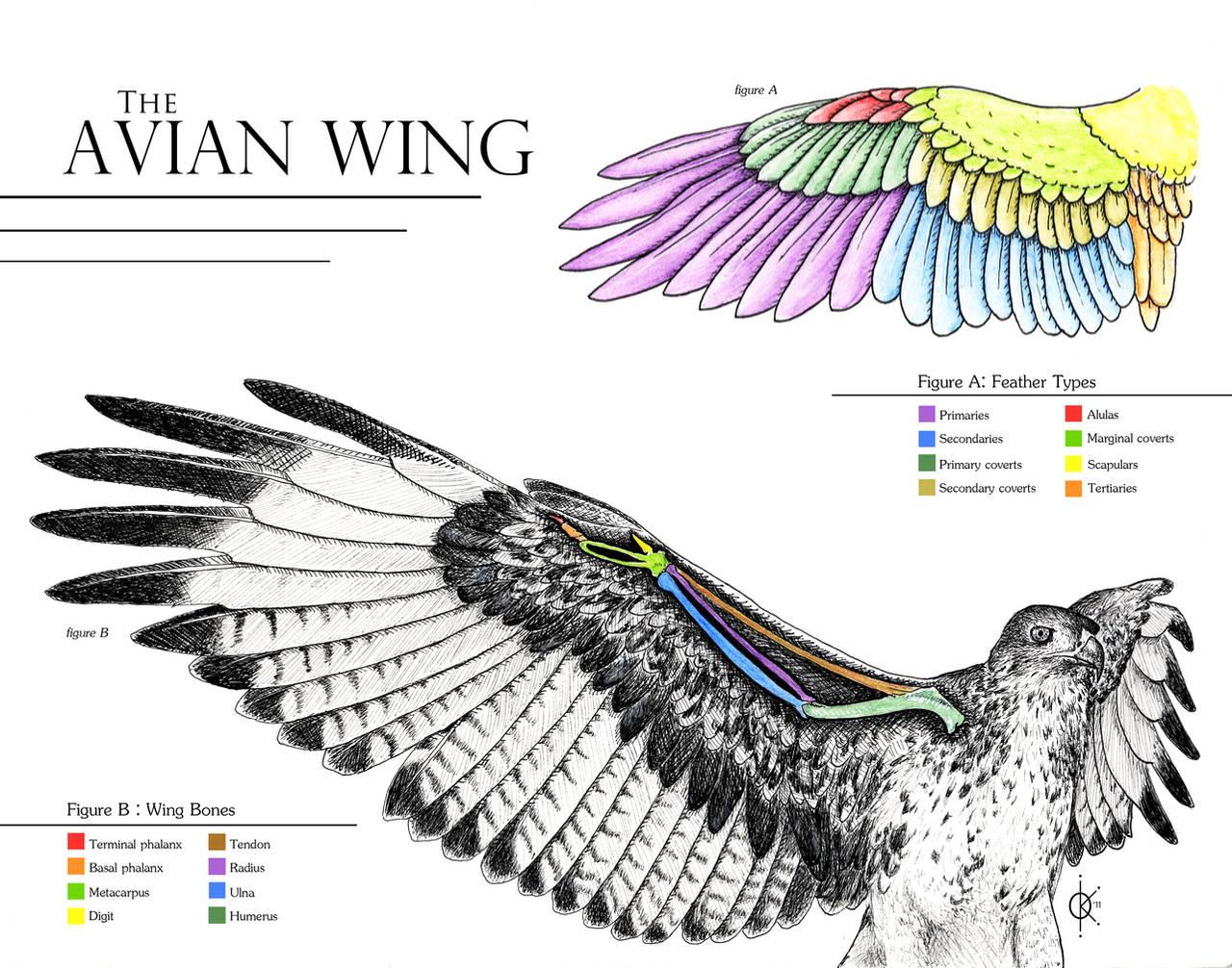 Avian Wing Anatomy by atethirteen