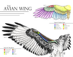Avian Wing Anatomy by atethirteen