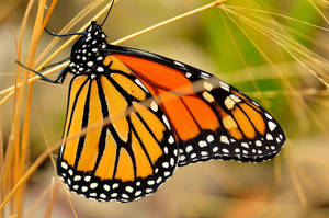 Monarch Butterfly Closeup by Crixans