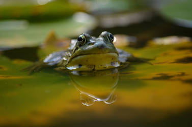 Frog contemplating life by Crixans