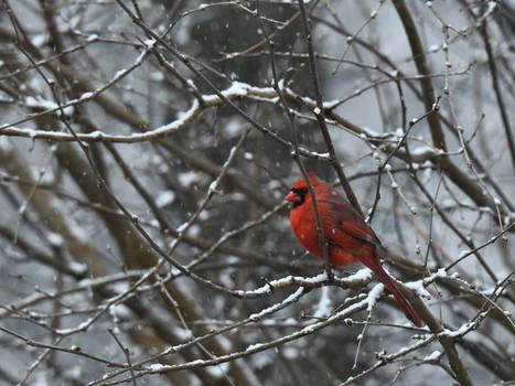 2020 Cardinal in Tree