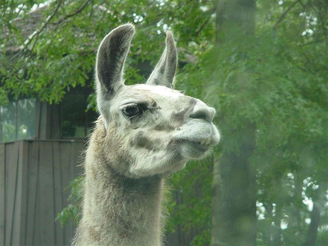 Llama Face Related Keywords & Suggestions - Llama Face Long Tail ...