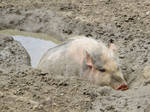 Pig in a mud hole