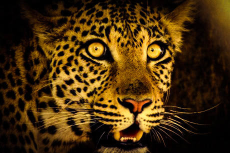 Leopard 4 by YassyCat