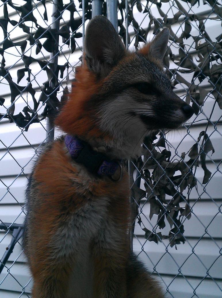 Foxy Portrait by DashRendar100