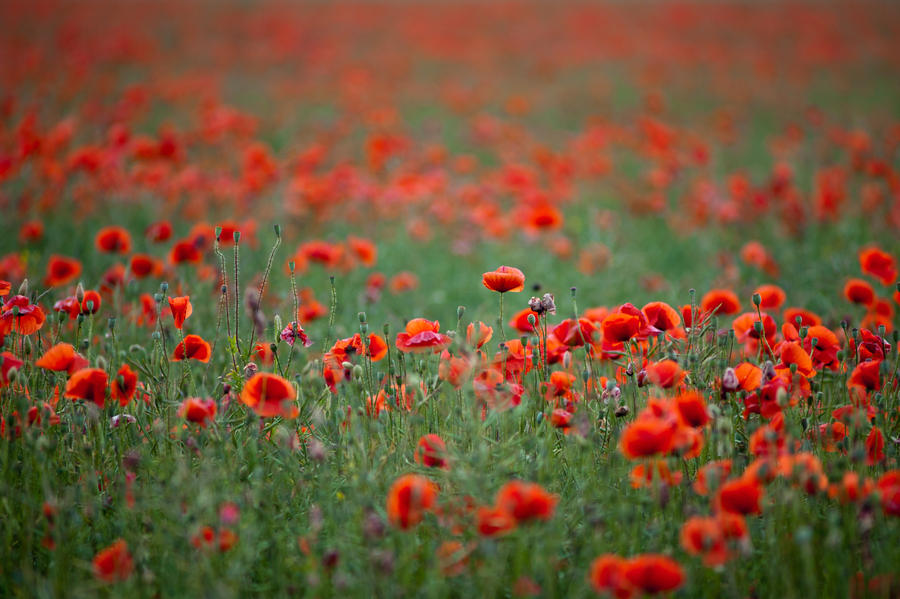 poppy field by pedro4d