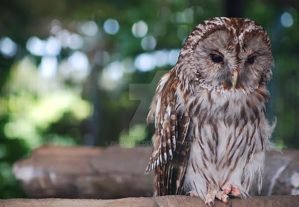 Sad owl by Pilonarie