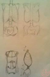 anatomy study - torso