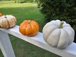 Pumpkin 2 by yellowdragonflower