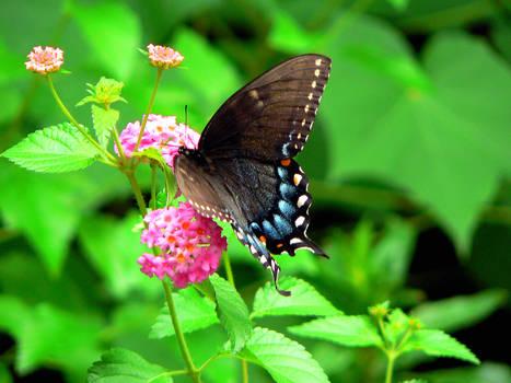 Butterfly on Flowers2