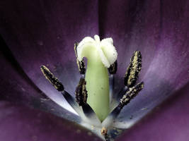 purple black tulip by LeuNoe