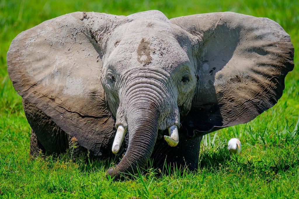 Dumbo in Amboseli by DjLuke9