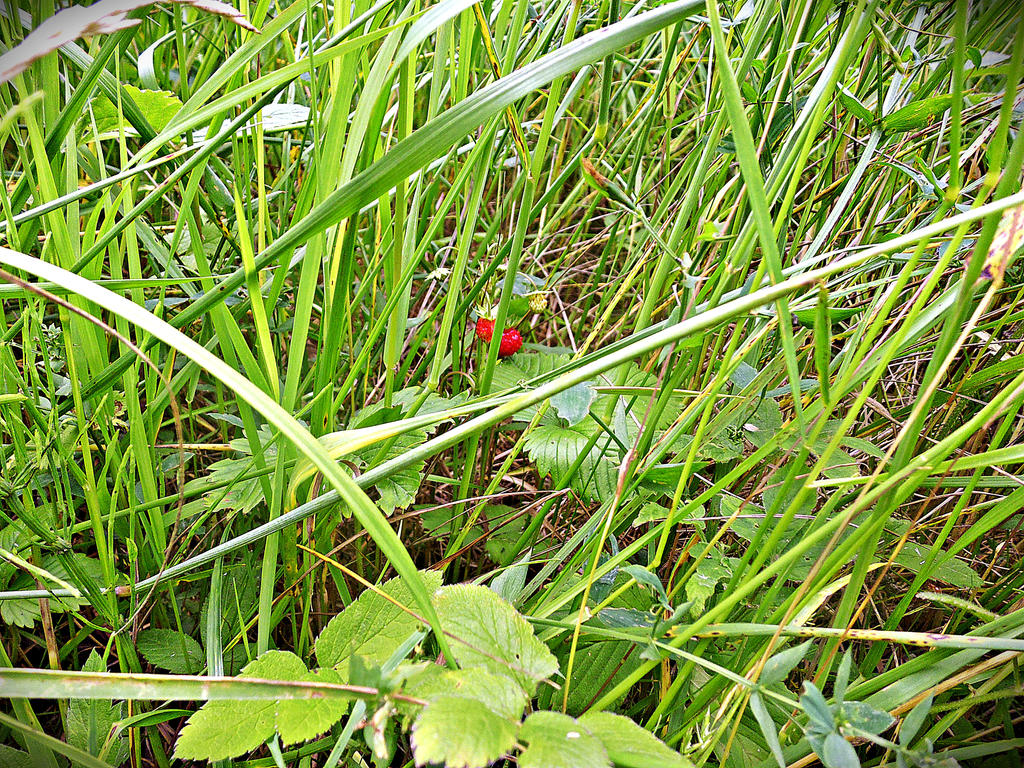 wild strawberries by malibu-z-mlekiem