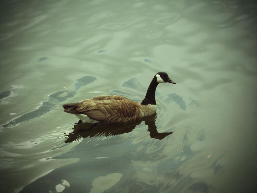 Canadian Goose on Lake by watercolos