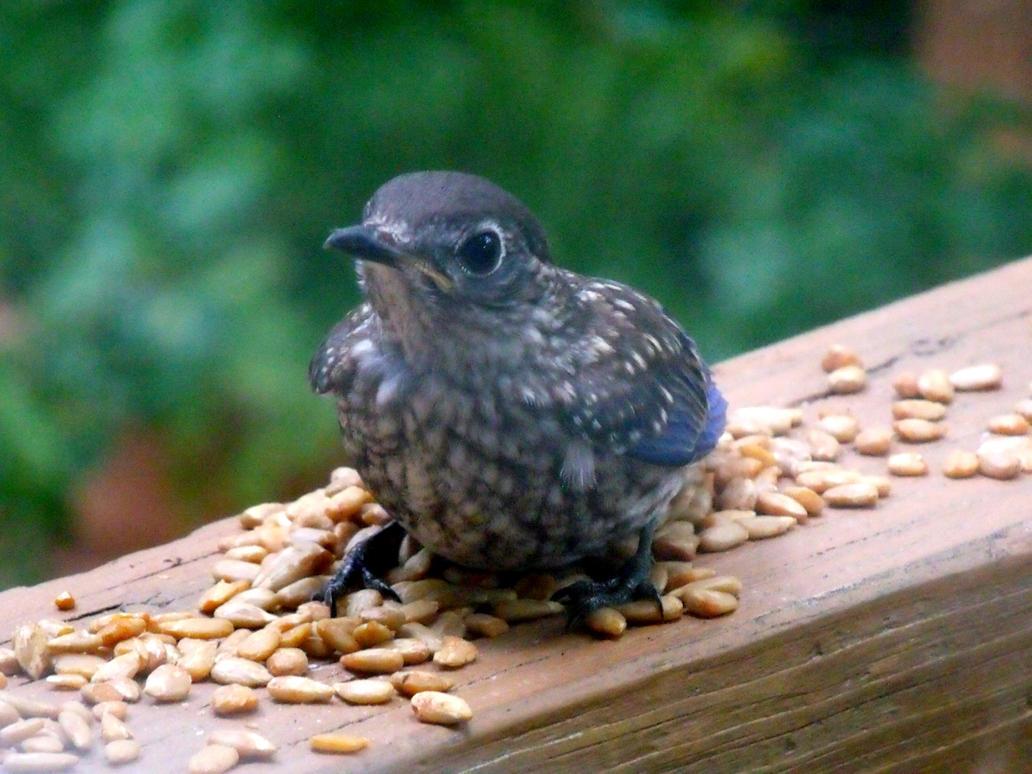 Baby Bluebird-  Hello! by watercolos