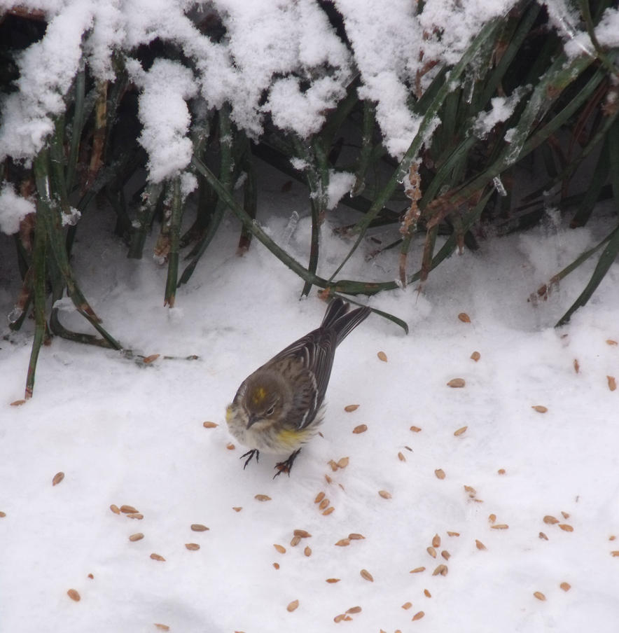 Pine Siskin-  In the Snow by watercolos