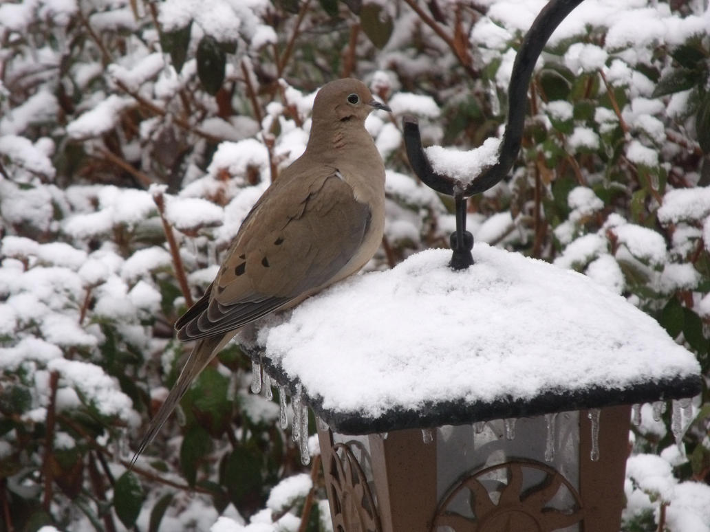 Mourning Dove-  In the Snow by watercolos