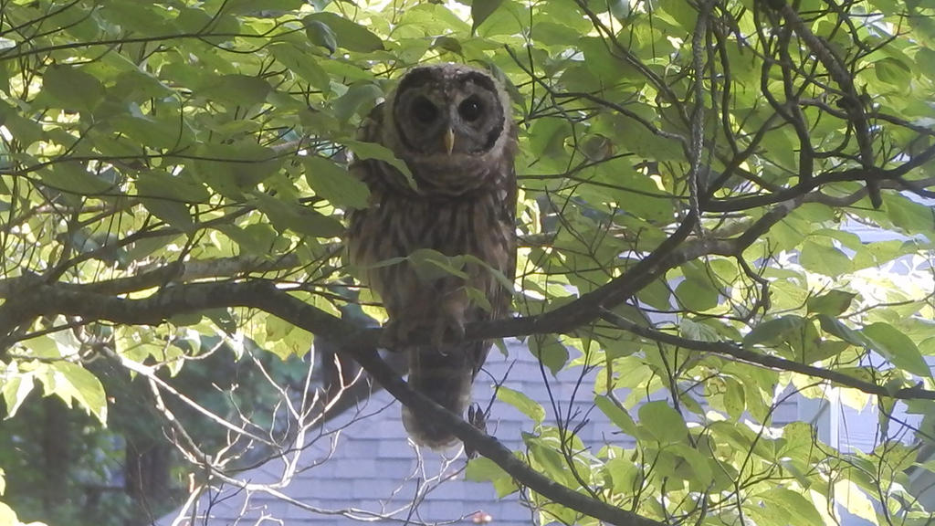 Barred Owl-  I see you by watercolos