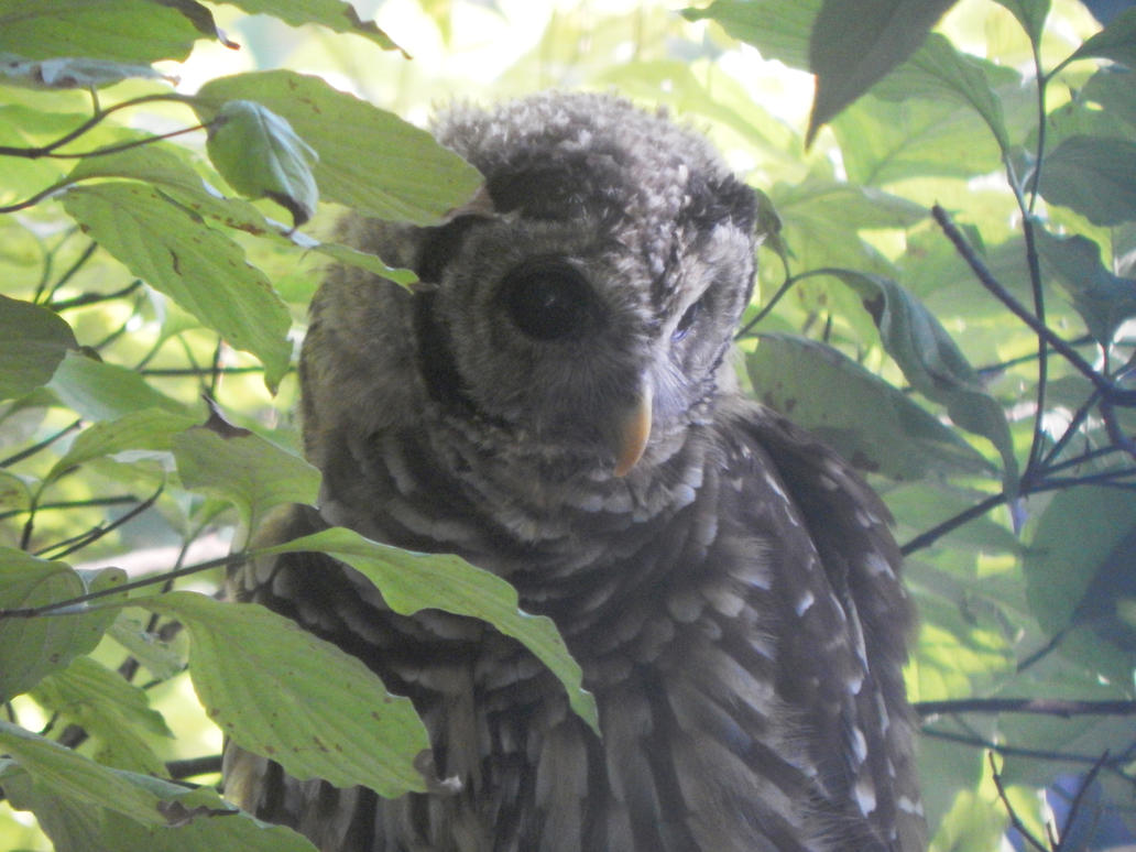 Barred Owl close-up by watercolos