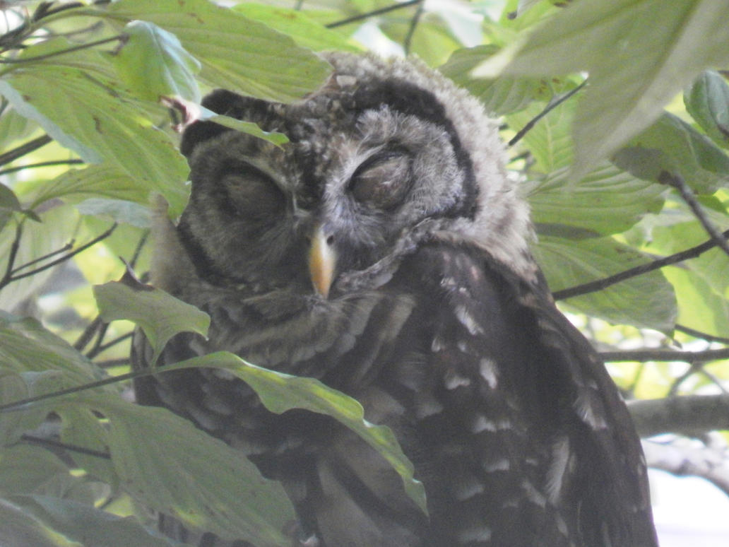 Barred Owl-  Taking a nap by watercolos