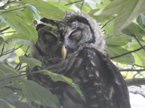 Barred Owl-  Taking a nap