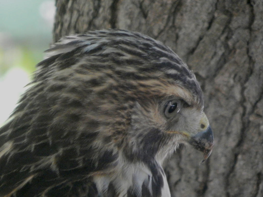 Immature Red Tailed Hawk close-up by watercolos
