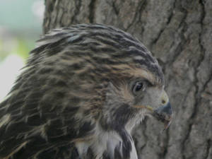 Immature Red Tailed Hawk close-up