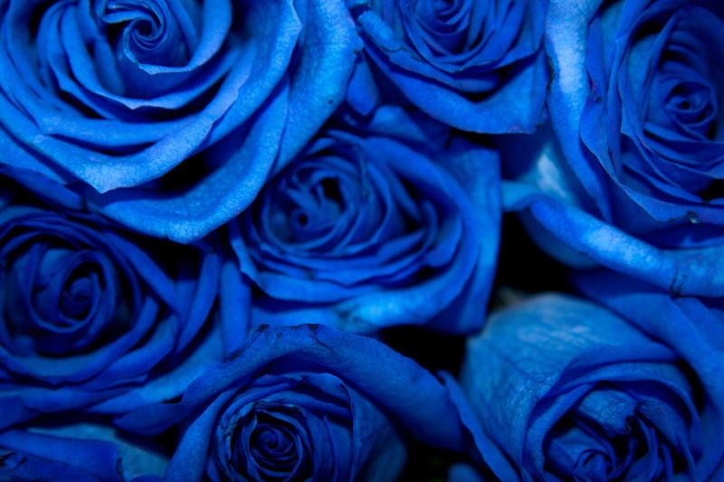 Blue Roses By Dchandan