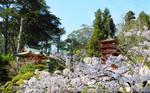 Sakura at the Japanese Tea Gardens