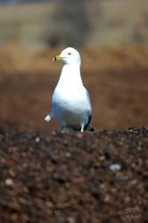 Gull Pride