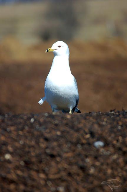 Gull Pride by Korppi-Clicks