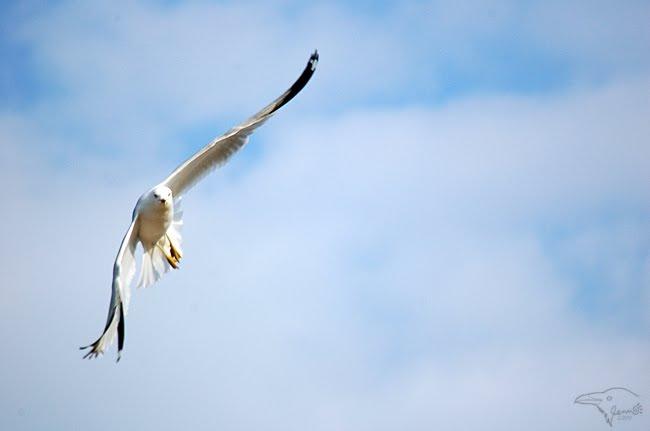 Gull Flying by Korppi-Clicks