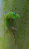 Madagascar Day Gecko III