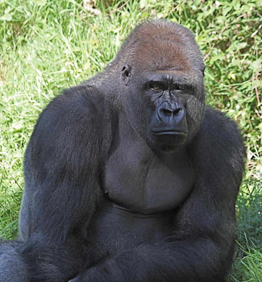 Silverback Gorilla Muscles