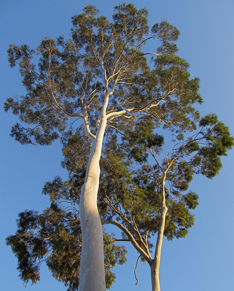 Gum Tree by rmbastey