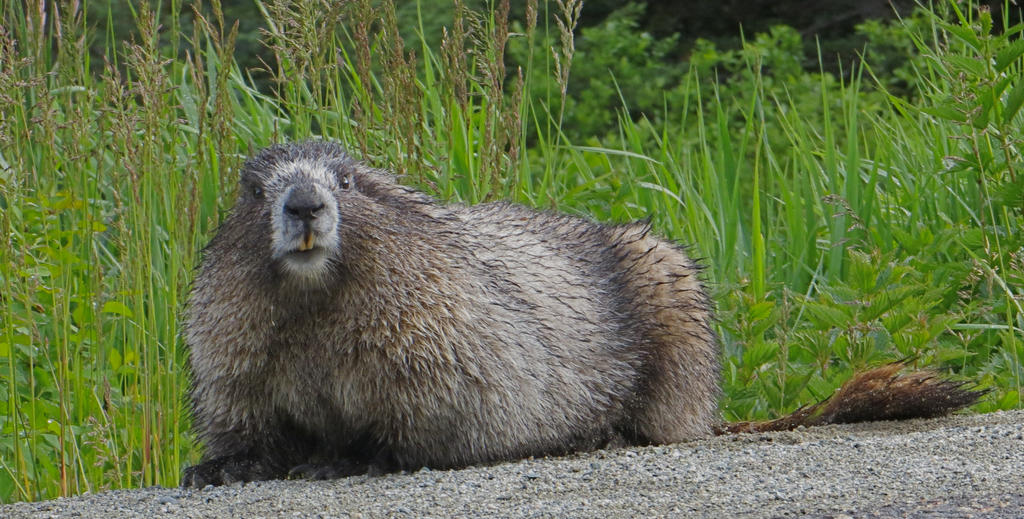 Whistler Road Marmot by rmbastey