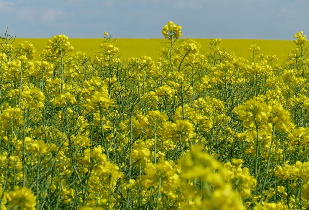 Rapeseed Flowers by rmbastey