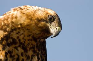 The Galapagos Hawk by Tenbult