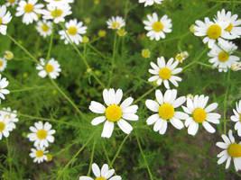 daisies by Luusan