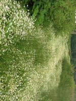 daisy road by Luusan