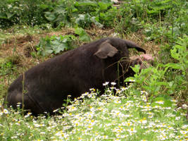 Black sow in the daisies by Luusan