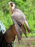 little hawk by Luusan