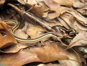 garter snake 2 by Luusan
