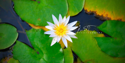 A Mid-flower above Water Lilies