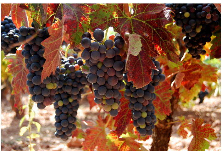 Autumn in the vineyard by aizea