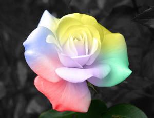 Rosa_colores