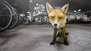 Sad Fox by KaiSchuebeck