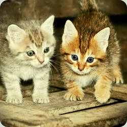 Kitten by EmilieDurand